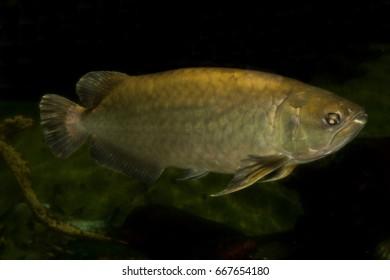 Asian Arowana, Asian Bonytongue, Golden Arowana, Golden Dragon Fish (Scleropages formosus).