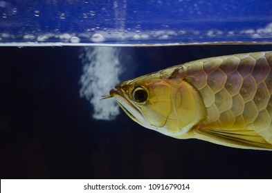 The Asian arowana comprises several phenotypic varieties of freshwater fish distributed geographically across Southeast Asia