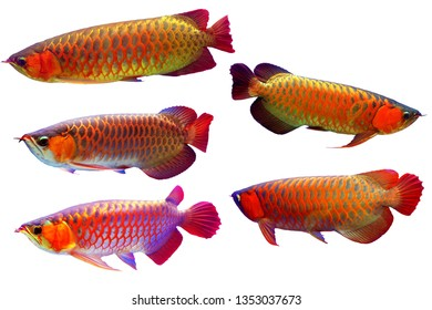 Asian arowana Fish Isolate Set in a White Background,Red Arowana isolated.