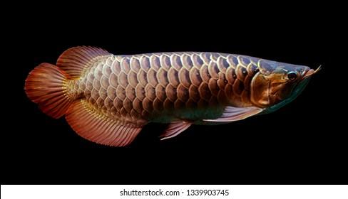 Asian Arowana fish on black background.