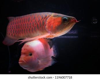 Asian Arowana fish on dark aquarium background