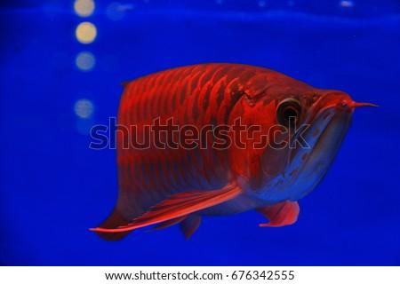 Asian Arowana Freshwater Fish Distributed Across Stock Photo Edit