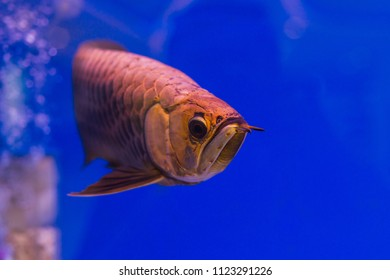 Asian Arowana silver fish or Science name is Scleropages formosus