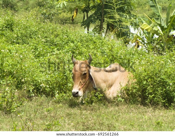Asian - Asia Cow sitting in the sunlight on green grass and bush of wild flower ( Spanish needle or Broom stick ) in front of natural pond in a sunny day.