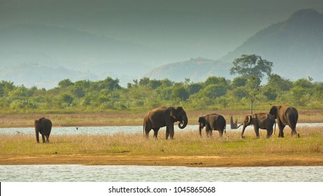 Asian or Asiatic elephant is the only living species of the genus Elephas and is distributed in Southeast Asia from India and Nepal in the west to Borneo in the east.