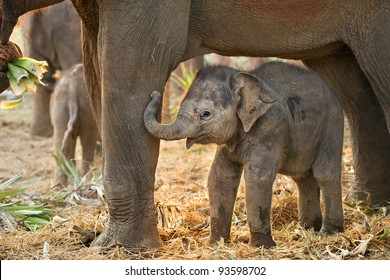 asian baby elephant with mother.Elephant is a wildlife animal but everybody falling in love them very cute and clever. Many tourist come to Thailand for travelling and need to visit elephant family.