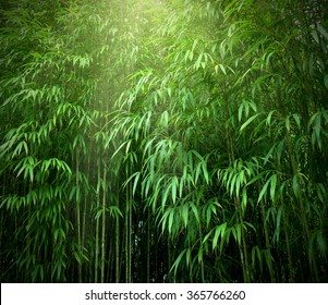 Asian Bamboo forest with sunlight.