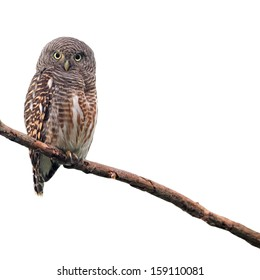 Asian Barred Owlet (Glaucidium cuculoides) on white background
