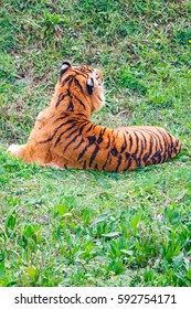 Asian- or bengal tiger in Cabarceno National Park