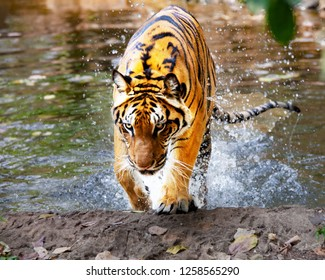 Asian- or bengal tiger in  Park