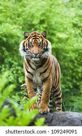 Asian- or bengal tiger standing with bamboo bushes in background