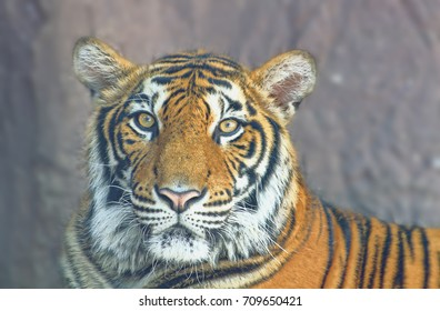 Asian bengal tiger with stone in background
