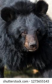 The Asian black bear (Ursus thibetanus)