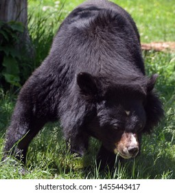 Asian black bear (Ursus thibetanus or Selenarctos thibetanus), also moon or white-chested bear, is a medium-sized bear species native to Asia and largely adapted to arboreal life