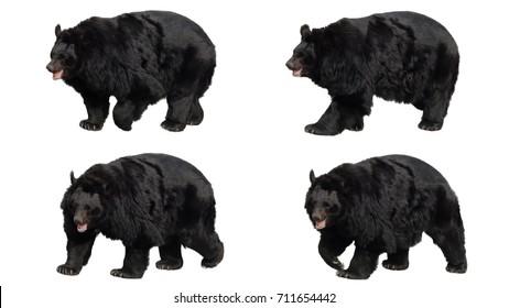 8d17f0fef95 Asian black bear walking on white screen