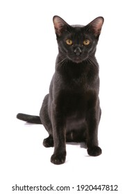 Asian bombay black adult cat isolated on a white background