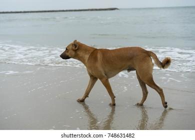 Asian Brown Dog on beach