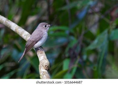 Asian Brown Flycatcher Bird non-breeding. Muscicapa dauurica family.