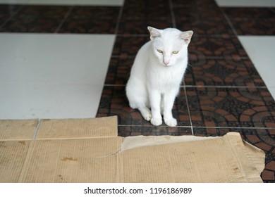Asian cat White