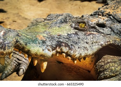 Asian Crocodile head close up