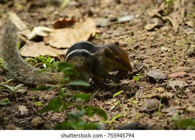 asian cute squirrel