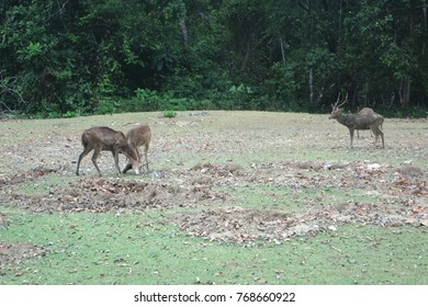 asian deer fight in tropical rain forest