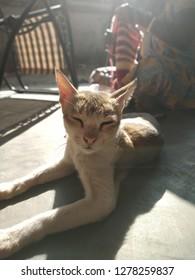 asian domestic cat resting under sun
