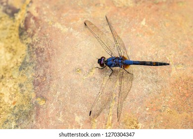 Asian dragonfly - Trithemis festiva, beautiful blue dragonfly from Indonesian fresh waters and forests, Sumatra, Indonesia.