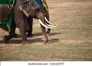 The asian elephan of Surin Elephant war show