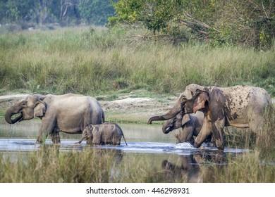 Asian elephant  in Bardia national park, Nepal ; specie Elephas maximus family of Elephantidae