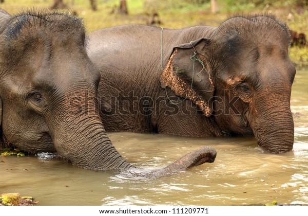 asian elephant bathing in muddy water, Laos