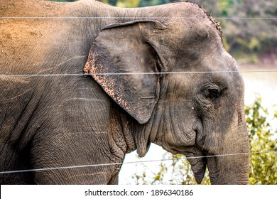 Asian elephant behind an electric fence.