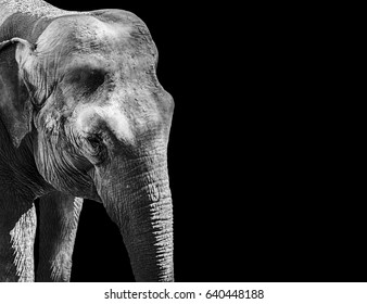 Asian elephant in black and white. Indian Elephant.