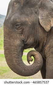 Asian elephant close up profile portrait, with wrapped trunk