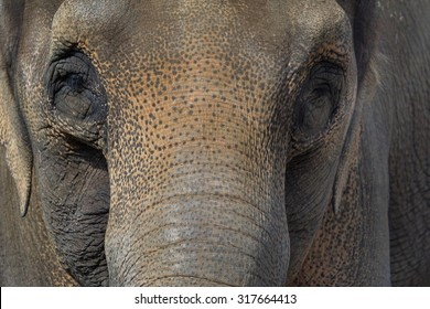 Asian Elephant Closeup Face Portrait Abtract Background
