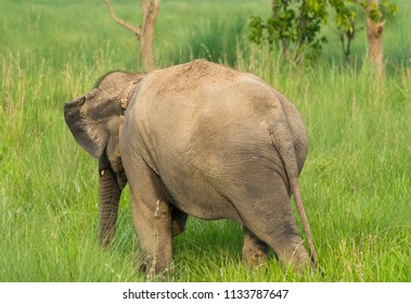 Asian elephant eating grass or feeding in the wild. Wildlife photo in Asia