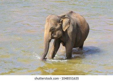 Asian elephant Elephans maximus is bathing in the river