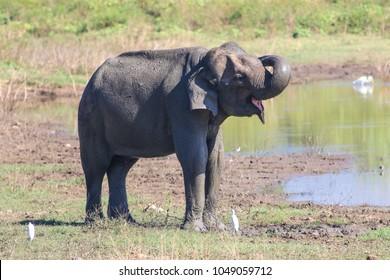 Asian elephant Elephans maximus is bathing in mud  in Udawalawe national park, Sri Lanka