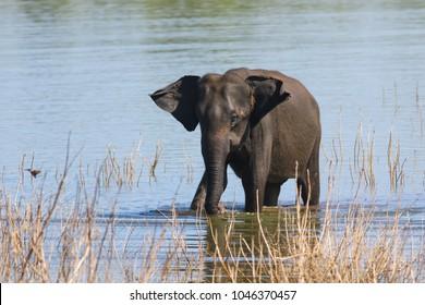 Asian elephant Elephans maximus is take a bath in Udawalawe national park Sri Lanka.