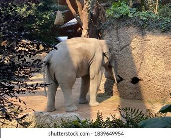 Asian elephant (Elephas maximus), Asiatic elephant, Der Asiatische Elefant, L'éléphant indien, El elefante asiático, Azijski ili Indijski slon - The Zoo Zürich (Zuerich or Zurich), Switzerland