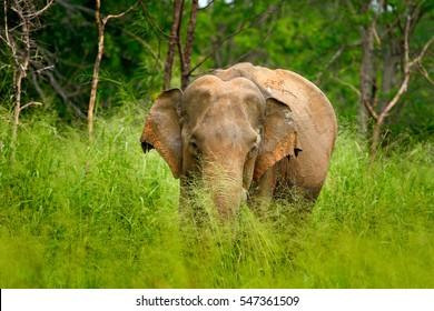 Asian Elephant, Elephas maximus, with green grass in the trunk. Big mammal in the nature habitat, Yala National Park, Sri Lanka. Elephant in Asia.