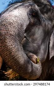 Asian elephant (Elephas maximus), Jaipur, India