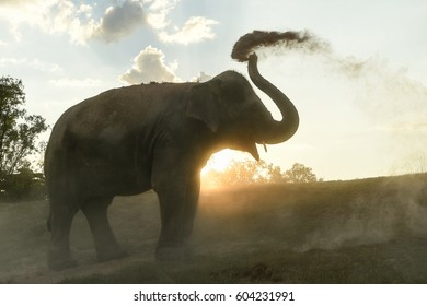 Asian elephant (Elephas Maximus)  on the field of the Taklang Elephant Village in Surin dusting themselves to get rid of bugs and insects before the sunset