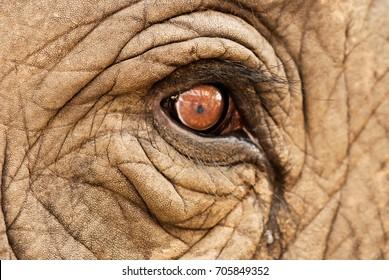 Asian elephant eyes