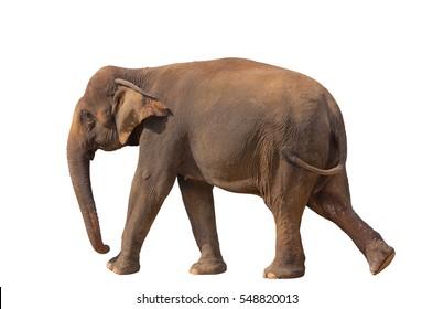 Asian elephant female on a white background.