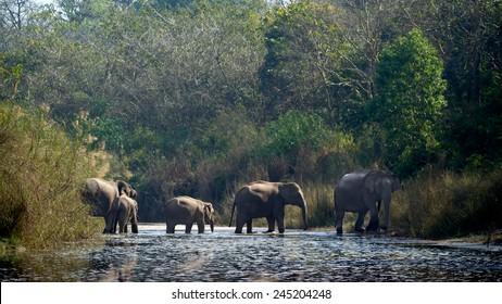 Asian elephant group specie Elephas maximus in Bardia, Nepal
