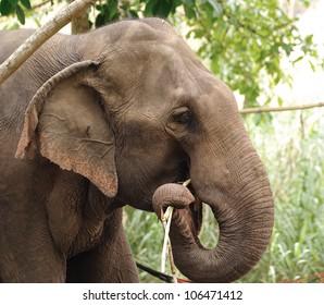 Asian Elephant head close up