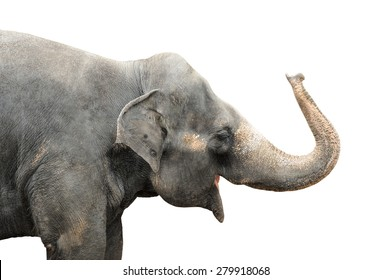 Asian elephant isolated on white background. Clipping path included.