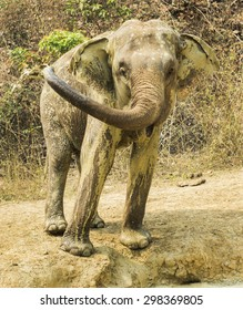 The Asian elephant in natural environment.