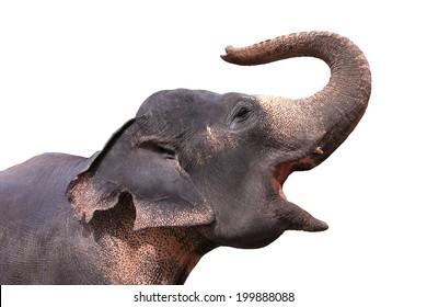 Asian Elephant on a white background